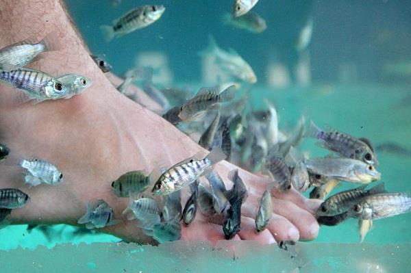 mát xa chân với cá